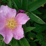 Rock Rose-BBG. In memory of the Nine.